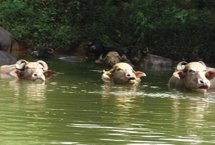 búfalos como parte del atractivo turístico en Coclesito