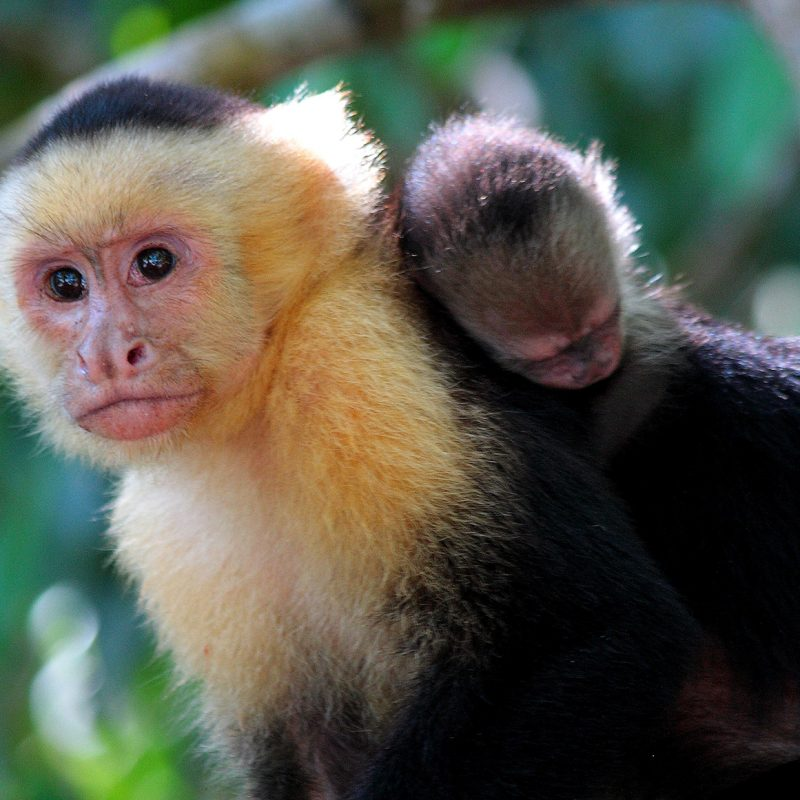 Biodiversity in Costa Rica: Capuchins