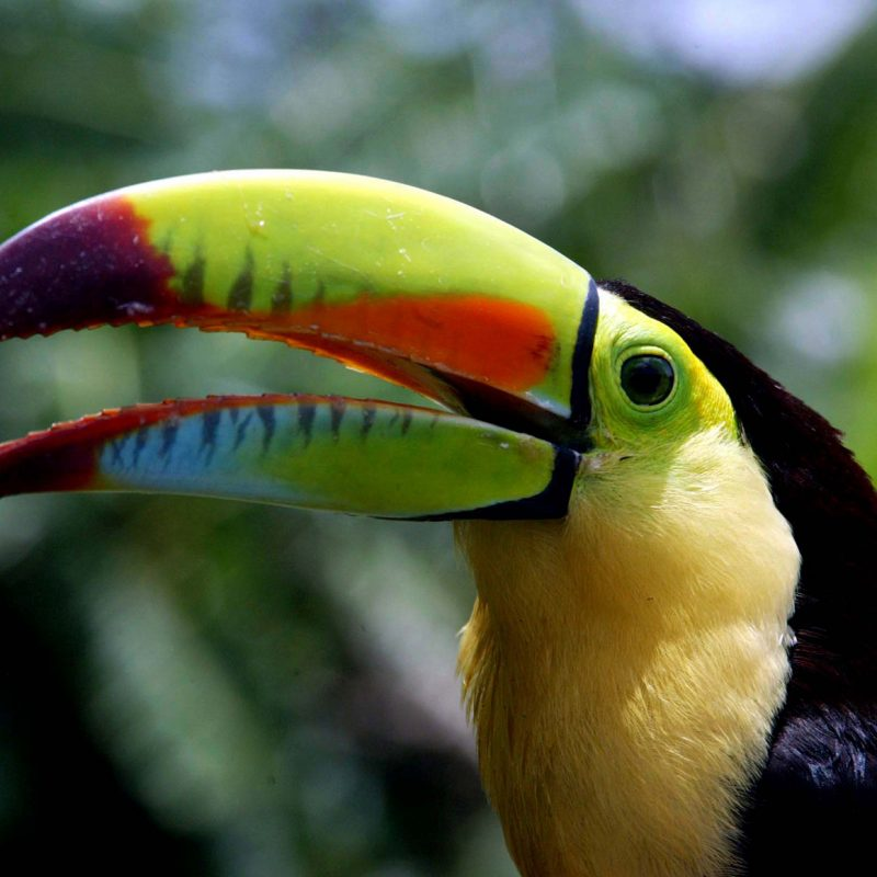 Fauna and biodiversity in Honduras: Toucan