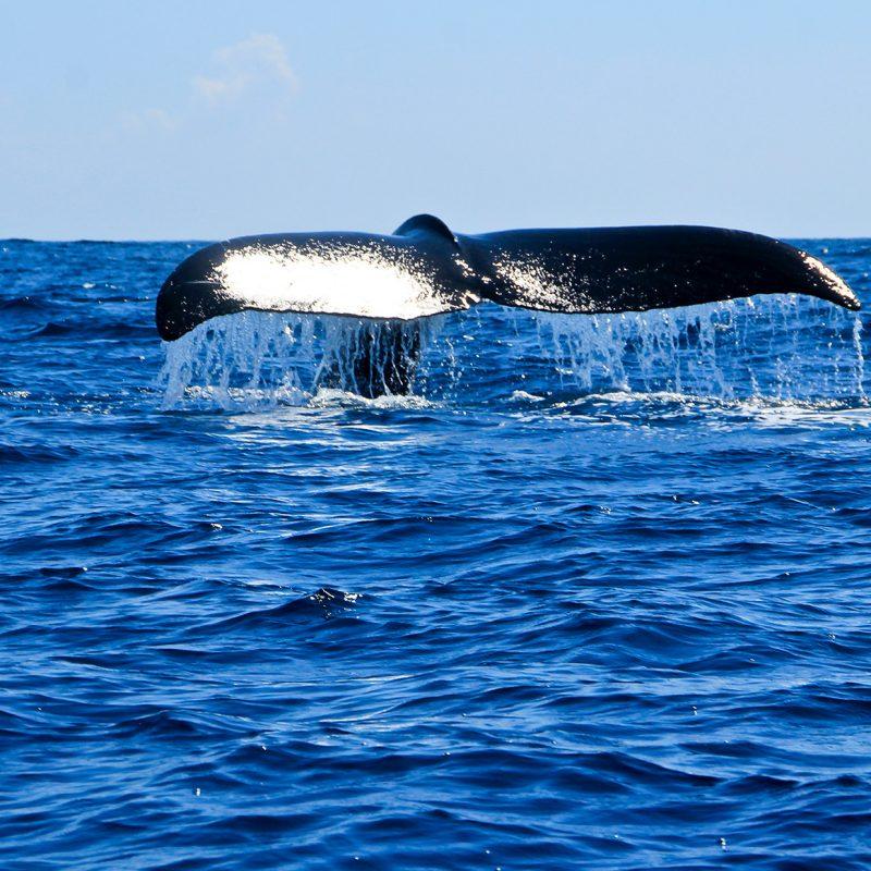 Avistamiento de Ballenas en Cobanos en El Salvador