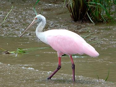 Observación aves - Centroamérica