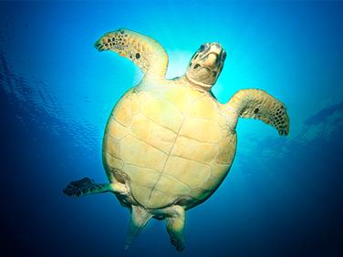 Nada con tiburones y tortugas en mar abierto - Centroamérica